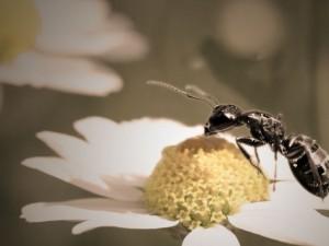 Il nettare al tempo delle formiche!