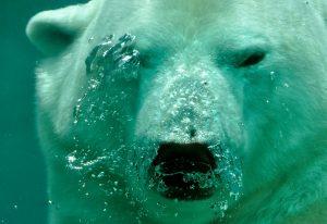 Polar-bear-bonifacio-acqua